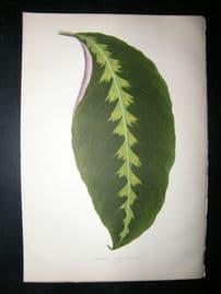 Lowe 1891 Antique Botanical Print. Maranta Warscewiczii