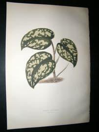 Lowe 1891 Antique Botanical Print. Pothos Argyraea