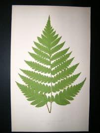 Lowe Fern 1860 Antique Botanical Print. Acrostichum Alienum