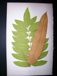 Lowe Fern 1860 Antique Botanical Print. Acrostichum Aureum