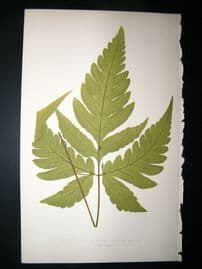 Lowe Fern 1860 Antique Botanical Print. Acrostichum Auritum