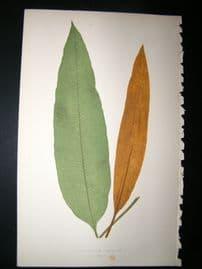 Lowe Fern 1860 Antique Botanical Print. Acrostichum Brevipes