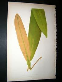 Lowe Fern 1860 Antique Botanical Print. Acrostichum Conforme