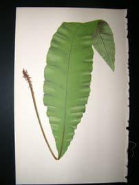 Lowe Fern 1860 Antique Botanical Print. Acrostichum Crassinerve