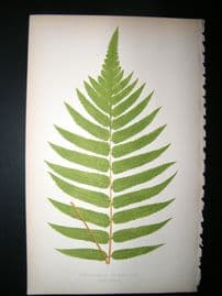 Lowe Fern 1860 Antique Botanical Print. Acrostichum Crispatulum