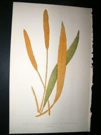 Lowe Fern 1860 Antique Botanical Print. Acrostichum Cuspidatum