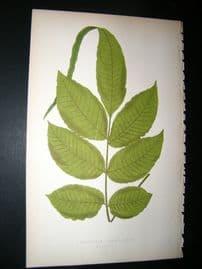 Lowe Fern 1860 Antique Botanical Print. Acrostichum Flagelliferum