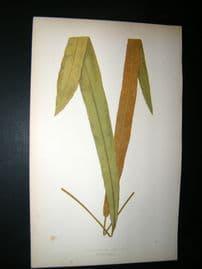 Lowe Fern 1860 Antique Botanical Print. Acrostichum Frigidum