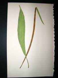 Lowe Fern 1860 Antique Botanical Print. Acrostichum Gardnerianum