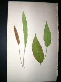 Lowe Fern 1860 Antique Botanical Print. Acrostichum Laurifolium