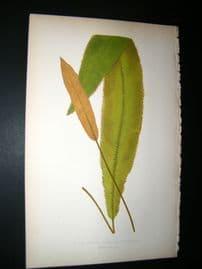 Lowe Fern 1860 Antique Botanical Print. Acrostichum Scolopendrifolium