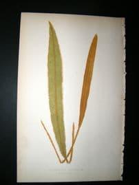 Lowe Fern 1860 Antique Botanical Print. Acrostichum Squamosum