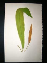 Lowe Fern 1860 Antique Botanical Print. Acrostichum Villosum