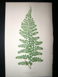 Lowe Fern 1860 Antique Botanical Print. Adiantum Concinnum