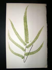 Lowe Fern 1860 Antique Botanical Print. Adiantum Cristatum