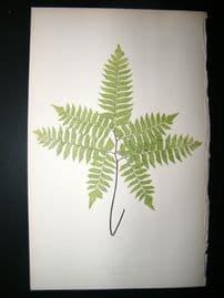 Lowe Fern 1860 Antique Botanical Print. Adiantum Cultratum