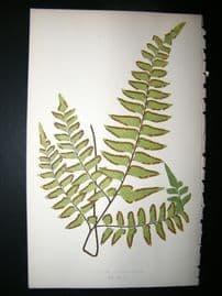 Lowe Fern 1860 Antique Botanical Print. Adiantum Intermedium