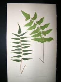 Lowe Fern 1860 Antique Botanical Print. Adiantum Lucidum & Macrophyllum