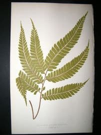 Lowe Fern 1860 Antique Botanical Print. Adiantum Pulverulentum