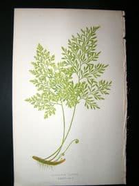 Lowe Fern 1860 Antique Botanical Print. Allosorus Cripus