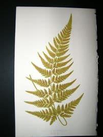 Lowe Fern 1860 Antique Botanical Print. Aspidium Acuminatum