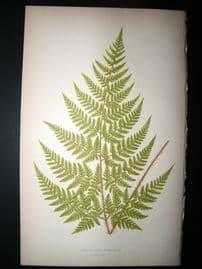 Lowe Fern 1860 Antique Botanical Print. Aspidium Aemulum