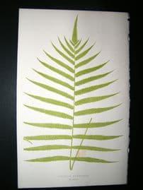 Lowe Fern 1860 Antique Botanical Print. Aspidium Augescens