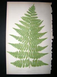 Lowe Fern 1860 Antique Botanical Print. Aspidium Canaries, Portion Of Frand