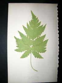 Lowe Fern 1860 Antique Botanical Print. Aspidium Cicutarium