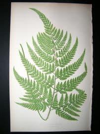 Lowe Fern 1860 Antique Botanical Print. Aspidium Coniifolium