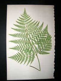Lowe Fern 1860 Antique Botanical Print. Aspidium Coriaceum