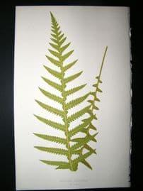 Lowe Fern 1860 Antique Botanical Print. Aspidium Deaurrens