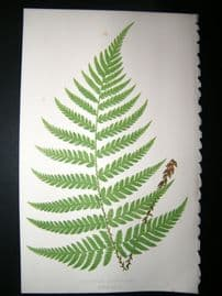 Lowe Fern 1860 Antique Botanical Print. Aspidium Elongatum