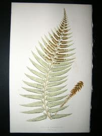 Lowe Fern 1860 Antique Botanical Print. Aspidium Falcinellum