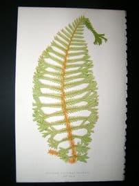 Lowe Fern 1860 Antique Botanical Print. Aspidium Filix-mas Cristata