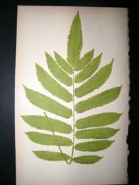 Lowe Fern 1860 Antique Botanical Print. Aspidium Glanulosum