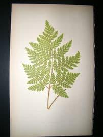 Lowe Fern 1860 Antique Botanical Print. Aspidium Hirtum