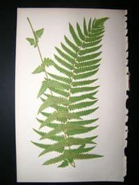 Lowe Fern 1860 Antique Botanical Print. Aspidium Hooker