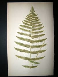 Lowe Fern 1860 Antique Botanical Print. Aspidium Kaulfussii