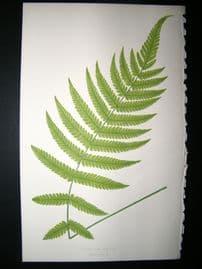 Lowe Fern 1860 Antique Botanical Print. Aspidium Molle