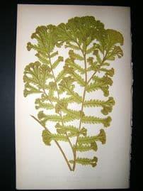 Lowe Fern 1860 Antique Botanical Print. Aspidium Molle-Var Corymbiferum
