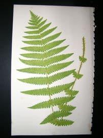 Lowe Fern 1860 Antique Botanical Print.  Aspidium Oreopteris
