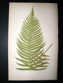 Lowe Fern 1860 Antique Botanical Print. Aspidium Patens