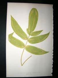 Lowe Fern 1860 Antique Botanical Print. Aspidium Podophyllum