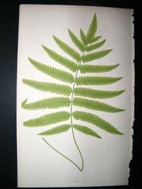 Lowe Fern 1860 Antique Botanical Print. Aspidium Pteroides