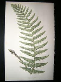 Lowe Fern 1860 Antique Botanical Print. Aspidium Pungens