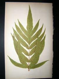 Lowe Fern 1860 Antique Botanical Print. Aspidium Repandum
