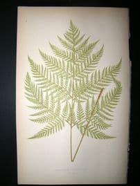 Lowe Fern 1860 Antique Botanical Print. Aspidium Spinescens