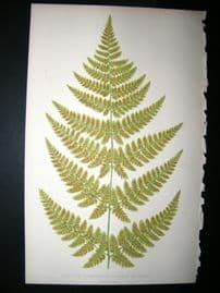 Lowe Fern 1860 Antique Botanical Print. Aspidium Spinulosum, Portion Of Frand