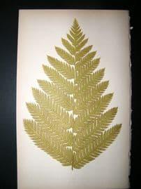 Lowe Fern 1860 Antique Botanical Print. Aspidium Strigosum